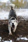 Verärgert bellen Hund auf der Natur Lizenzfreies Stockfoto