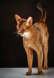 Verärgerte abyssinische Katze auf schwarzem braunem Hintergrund Stockfoto
