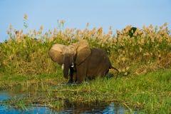 Verärgerte Elefantaufladung Stockfoto