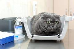Verärgerte flaumige graue Katze erwartet Aufnahme am Tierarzt in einer Veterinärklinik, die in einer Haustierfördermaschine sitzt stockbilder