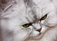 Verärgerte flaumige Katze Lizenzfreie Stockfotografie