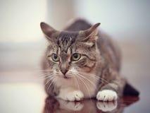 Verärgerte graue gestreifte Katze mit grünen Augen Lizenzfreie Stockfotografie