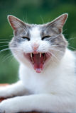 Verärgerte Katze mit geöffnetem Mund lizenzfreies stockfoto