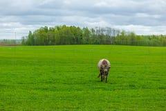 Verärgerte Kuh kommt in Wiese Stockbild