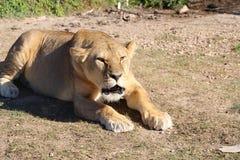 Verärgerte Löwin liegt aus den Grund lizenzfreies stockfoto