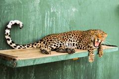 Verärgerte Leopardin Stockfoto