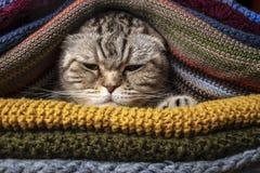 Verärgerte lustige Katze schottische Falte bereitet sich für kalten Herbst und Winter vor, eingewickelt und versteckt sich in ein stockfoto