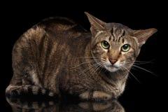 Verärgerte orientalische Cat Lying und in camera schauen, schwärzen lokalisiert Lizenzfreies Stockfoto