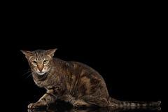 Verärgerte orientalische Cat Lying und in camera schauen, schwärzen lokalisiert Stockbild