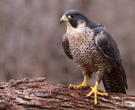 Verärgerte Peregrine Falcon Stockfotos