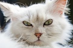 Verärgerte persische Katze Lizenzfreies Stockfoto
