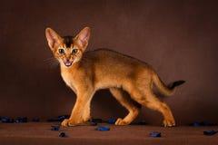 Verärgerte rötliche abyssinische Katze auf dunkelgrünem Lizenzfreies Stockbild