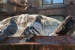 Verärgerte Tauben durch den Brunnen Tauben baden im Wasser Stockfotos