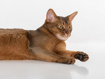Verärgerte und des Porträts neugierige abyssinische Katze, die auf dem Boden liegt Getrennt auf weißem Hintergrund Lizenzfreie Stockbilder