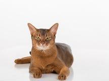 Verärgerte und neugierige abyssinische Katze, die gerade schaut Getrennt auf weißem Hintergrund Stockbilder