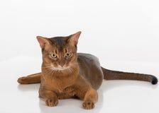 Verärgerte und neugierige abyssinische Katze Getrennt auf weißem Hintergrund Stockfotografie