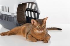 Verärgerte und neugierige abyssinische Katze und Kasten Getrennt auf weißem Hintergrund Stockbild