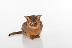 Verärgerte und neugierige und verärgerte abyssinische Katze, die aus den Grund sitzt Getrennt auf weißem Hintergrund Stockbild