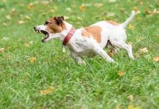 Verärgerter Abstreifenhund, der auf Gras läuft Stockbild