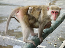 Verärgerter Affe Stockfotos