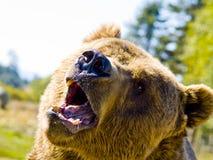 Verärgerter Bär lizenzfreies stockbild