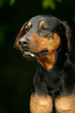 Verärgerter Dobermannhund lizenzfreies stockfoto