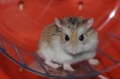 Verärgerter Hamster Lizenzfreie Stockfotos