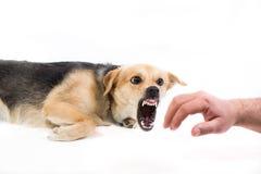 Verärgerter Hund, der eine Hand beißt stockbilder
