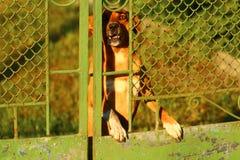 Verärgerter Hund des Schutzes, der eine Warnung abstreift Lizenzfreies Stockbild