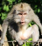 Verärgerter Makakenaffe in Ubud, Bali Stockfotos