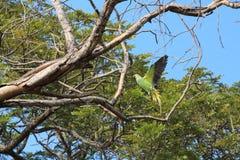 Verärgerter Papagei Stockfotos