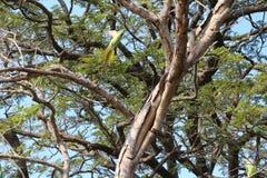 Verärgerter Papagei nimmt Schlange in Angriff Stockbilder
