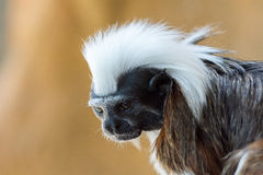 Verärgerter schauender Baumwolle-köpfiger Tamarin Stockbild