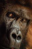 Verärgerter schauender Gorilla mit gefährlichem Ausdruck Stockbilder