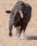 Verärgerter Stier ging meine Weise voran Stockbild