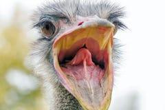 Verärgerter Strauß-Abschluss herauf Porträt, schließen herauf Straußkopf Struthio Camelus lizenzfreie stockbilder