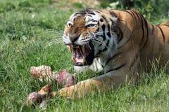 Verärgerter Tiger Stockfoto