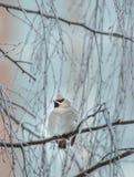 Verärgerter Vogel im Winter, der auf einem Baumast sitzt stockbild