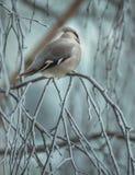 Verärgerter Vogel im Winter, der auf einem Baumast sitzt stockfotos