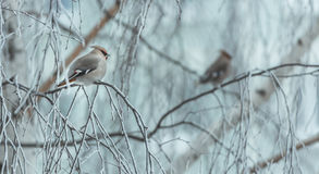 Verärgerter Vogel im Winter, der auf einem Baumast sitzt lizenzfreies stockbild