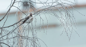 Verärgerter Vogel im Winter, der auf einem Baumast sitzt Stockfotografie