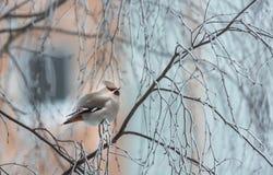 Verärgerter Vogel im Winter, der auf einem Baumast sitzt stockbilder