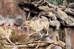 Verärgerter Wolf Lizenzfreies Stockfoto