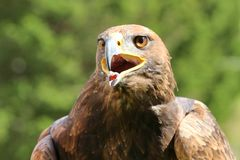 Verärgertes großes Eagle mit dem offenen Schnabel und der Zunge heraus Stockbild