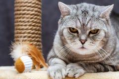 Verärgertes shorthair schottische gestreifte Katze, die Kamera betrachtet stockfotos
