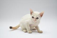 Verärgertes weißes Kätzchen mit gelben Augen lizenzfreie stockfotografie