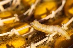 Ver à soie dans le cocon jaune, cycle de vie de ver à soie Photo stock