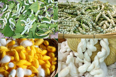 Ver à soie jaune et blanc pour des textiles, fil en soie cru Photographie stock