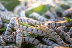ver à soie sur la feuille de mûre, larves de ver, mangeant la feuille de mûre, Images stock