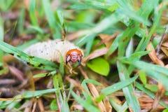 Ver blanc de hanneton solsticial sur l'herbe verte Photos stock